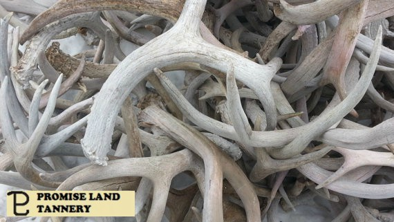 PLT Weathered White Deer Antlers